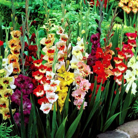 Луковицы Гладиолуса Крупноцветкового
