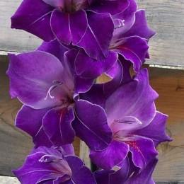Луковицы Гладиолуса Виолетта