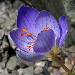 Луковицы шафрана Прекрасного (Speciosus)