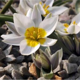 Луковицы Тюльпана полихрома