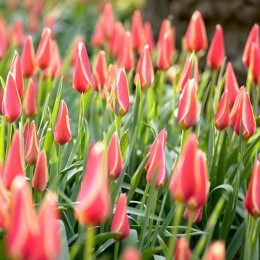Луковицы Тюльпана Тако