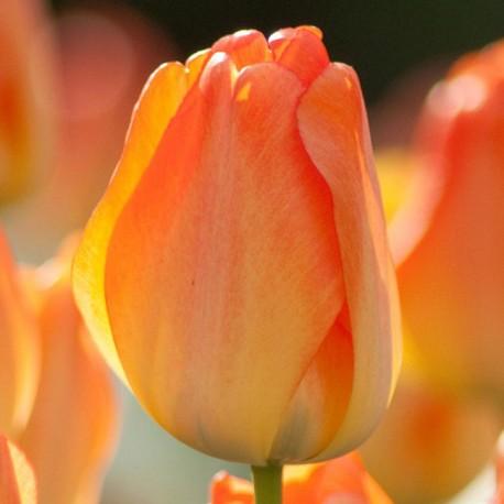 Луковицы Тюльпана Дейдрим