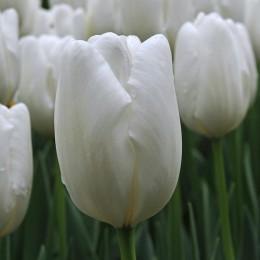 Луковицы Тюльпана Хакун