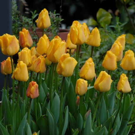 Луковицы Тюльпана Оранж Лион