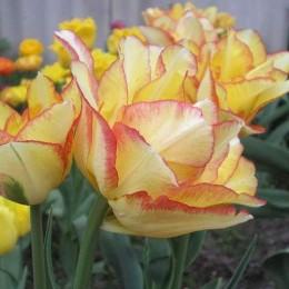 Луковицы Тюльпана Акилла