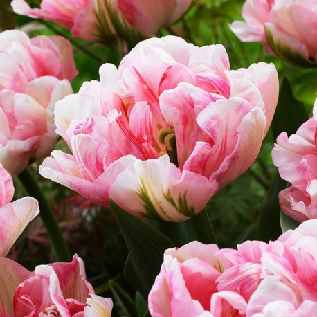 Луковицы Тюльпана Финола