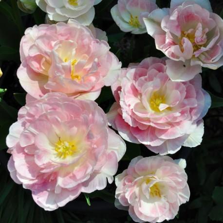 Луковицы Тюльпана Анжелика