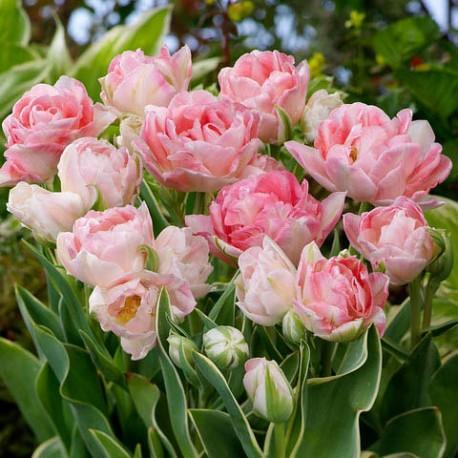 Луковицы Тюльпана Аннелинда
