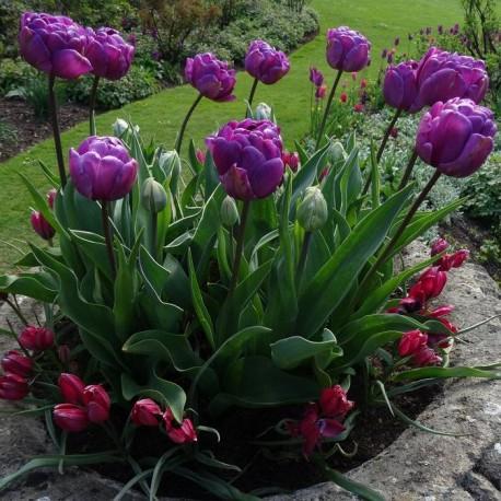 Луковицы Тюльпана Блу Даймонд