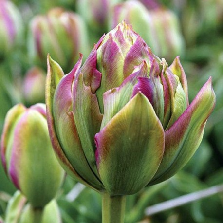 Луковицы Тюльпана Боа Виста