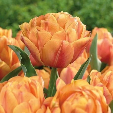 Луковицы Тюльпана Фримен