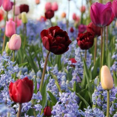 Луковицы Тюльпана Анкл Том