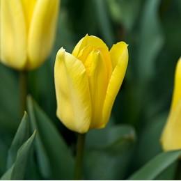 Луковицы Тюльпана Кандела