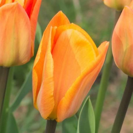 Луковицы Тюльпана Оранж Бриз