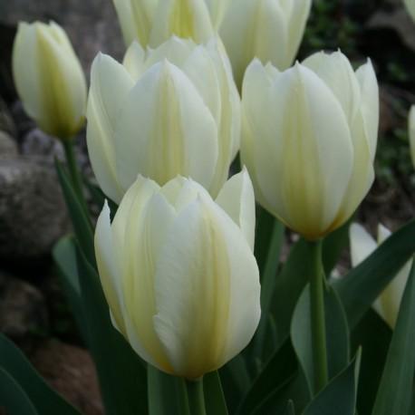 Луковицы Тюльпана Пуриссима