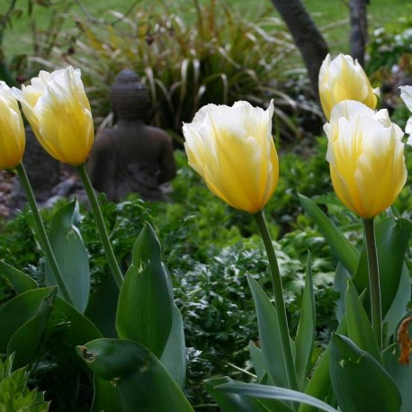Луковицы Тюльпана Свитхарт