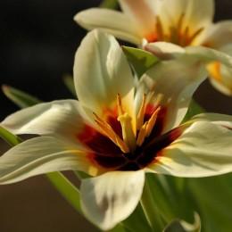 Луковицы Тюльпана Зомби