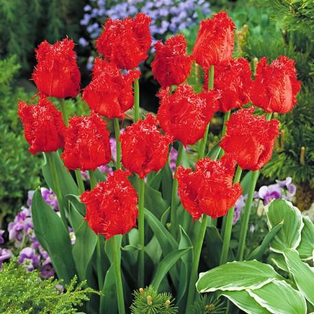 Луковицы Тюльпана Барбадос