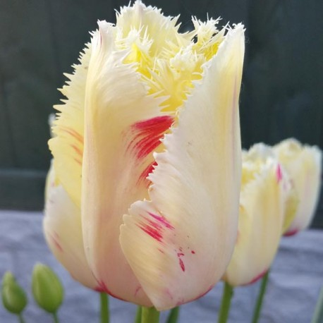 Луковицы Тюльпана Карусель