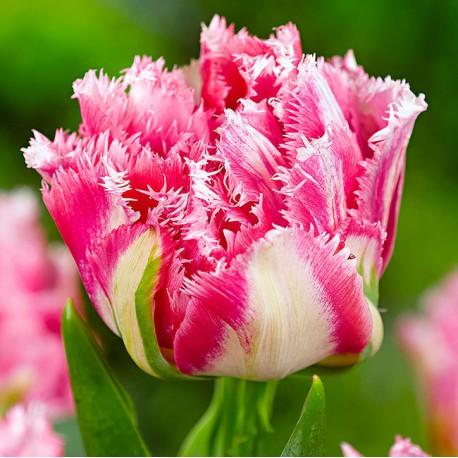 Луковицы Тюльпана Криспион Свит