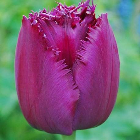 Луковицы Тюльпана Керли Сью