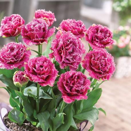 Луковицы Тюльпана Маскотте