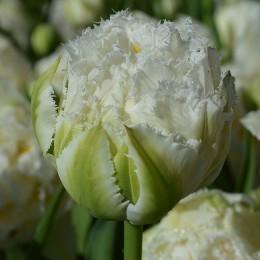 Луковицы Тюльпана Сноу Кристал