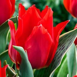Луковицы Тюльпана Роб Верлинден