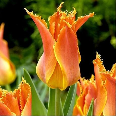 Луковицы Тюльпана Александра