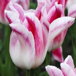 Луковицы Тюльпана Холланд Шик