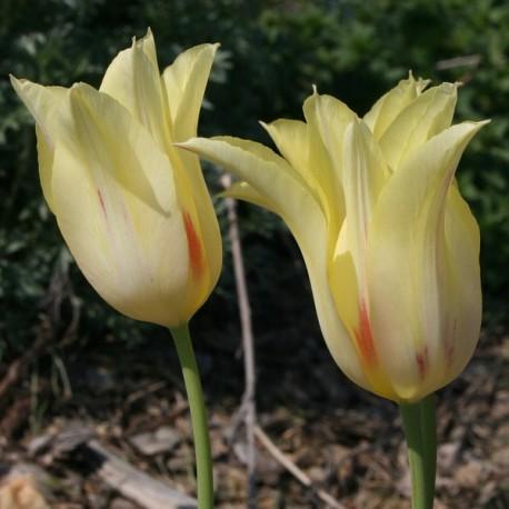 Луковицы Тюльпана Мона Лиза