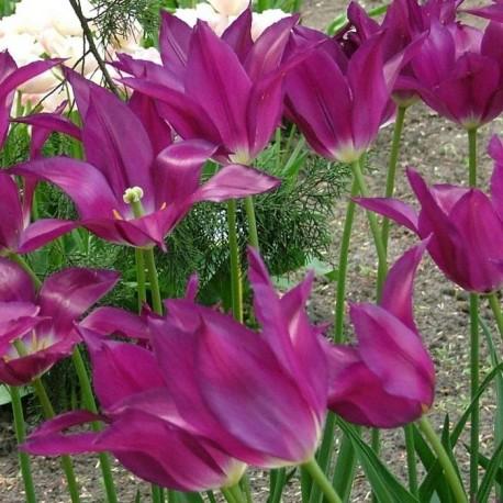 Луковицы Тюльпана Пурпл Дрим