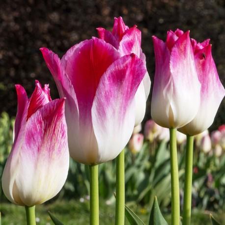 Луковицы Тюльпана Висперинг Дрим
