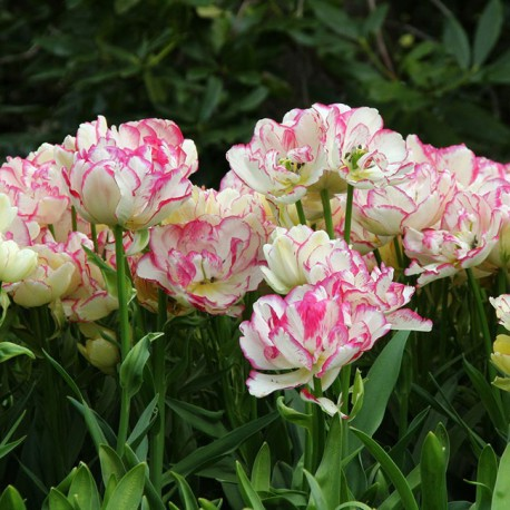 Луковицы Тюльпана Белиция