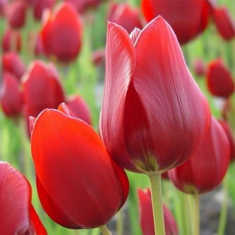 Луковицы Тюльпана Ред Жоржет