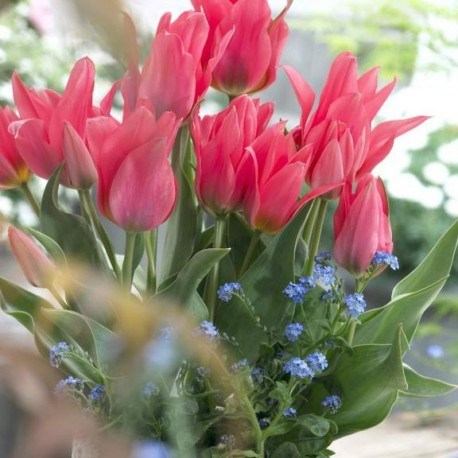Луковицы Тюльпана Торонто