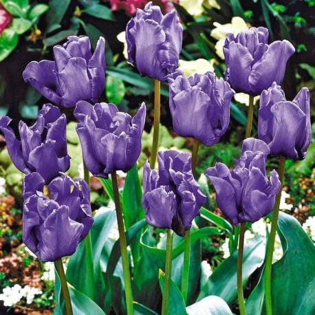 Луковицы Тюльпана Блю Пэррот