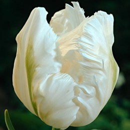 Луковицы Тюльпана Уайт Пэррот