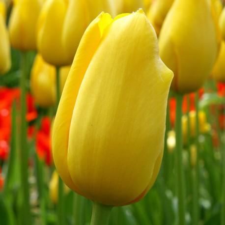 Луковицы Тюльпана Биг Смайл