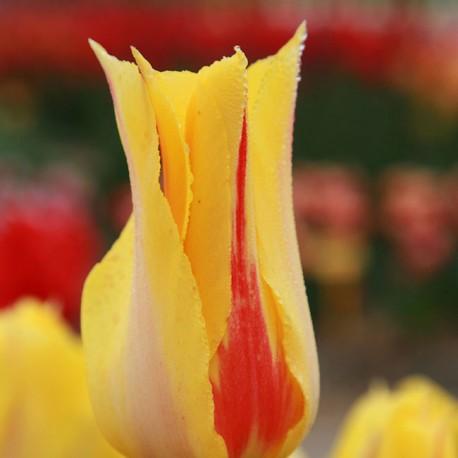 Луковицы Тюльпана Хокус Покус