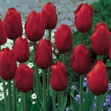 Луковицы Тюльпана Кингсблад