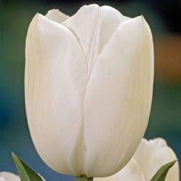 Луковицы Тюльпана Маурин