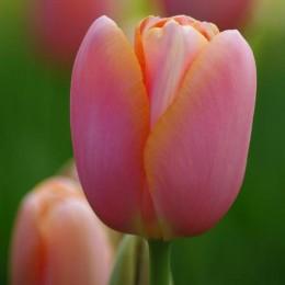 Луковицы Тюльпана Ментон