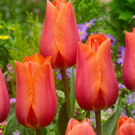 Луковицы Тюльпана Темпл оф Бьюти