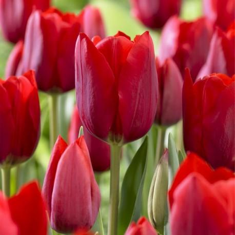 Луковицы Тюльпана Бастон