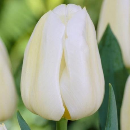 Луковицы Тюльпана Калгари