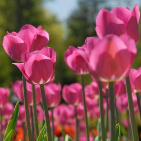 Луковицы Тюльпана Дон Кихот