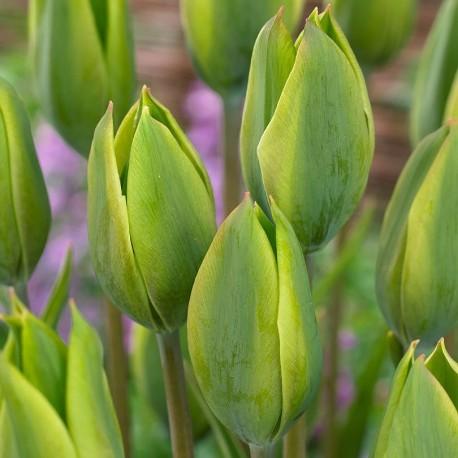 Луковицы Тюльпана Эвергрин