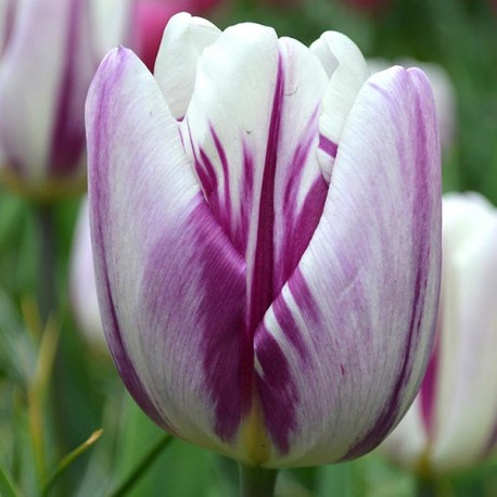 Луковицы Тюльпана Фламинг Флаг