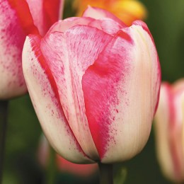 Луковицы Тюльпана Плейгерл